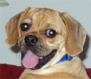 Samuel - A Loved Puggle